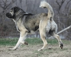 How can I train my Armenian Gampr not to bark so much? (Answered on Quora)