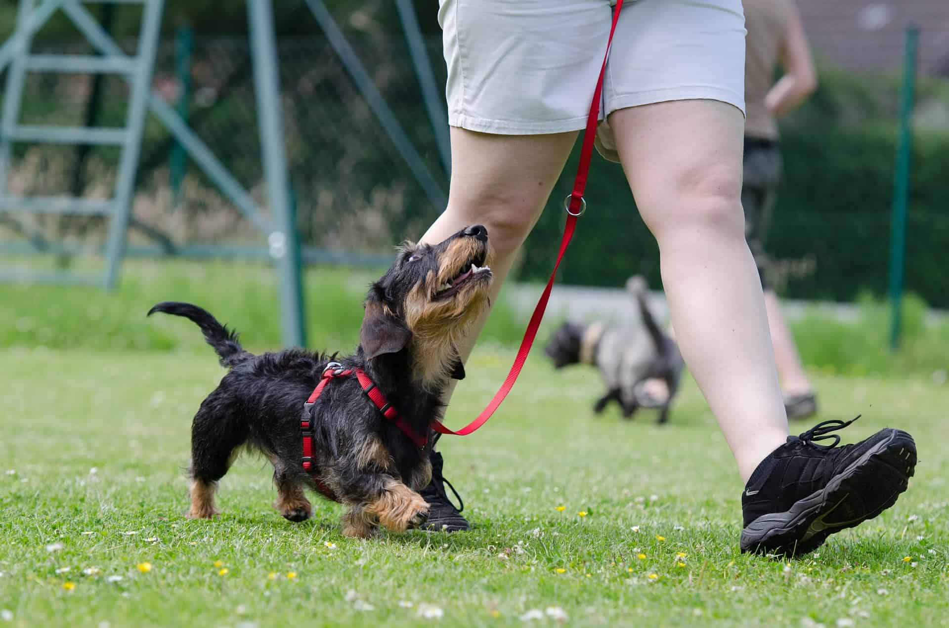 What is the best way to train your puppy to walk at heel (Question on Quora)