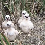 Mláďata pochopa rákosního (moták pochop) na hnízdě v rákosí