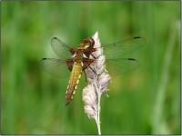 Samice vážky ploské (Libellula depressa)