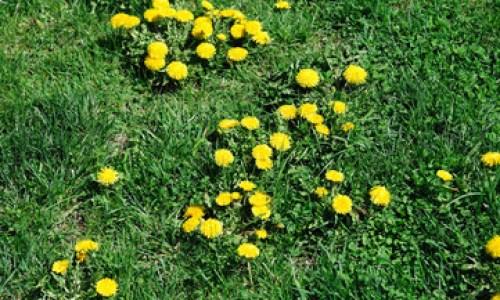 gyom - Tavaszi előkészületek 5. rész - Gyomok