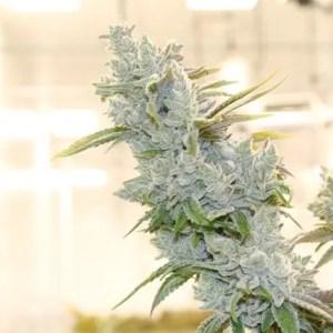 Hvorfor du burde si Cannabis i stedet for