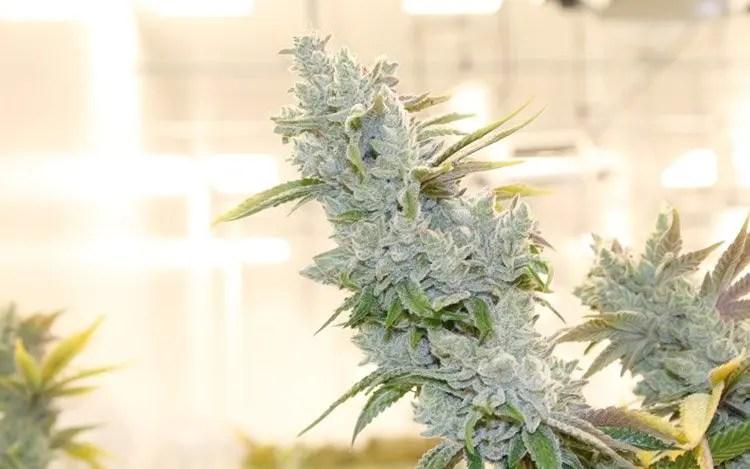 Hvorfor du burde si Cannabis I stedet for hasj eller marihuana.