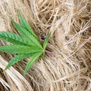 7 grunner Hamp er den kraftigste planten i verden