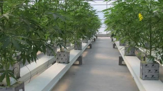 dyrke cannabis