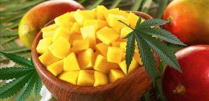 mango og cannabis 2