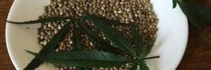 cannabis frø