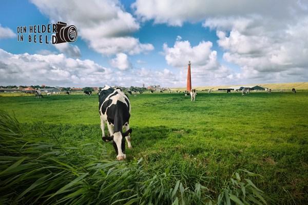 Koeien in de Huisduiner Polder