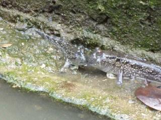 Eternal 888 at Sungei Buloh Part 2 mudskipper kissing