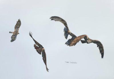 vues d'un aigle 34x50