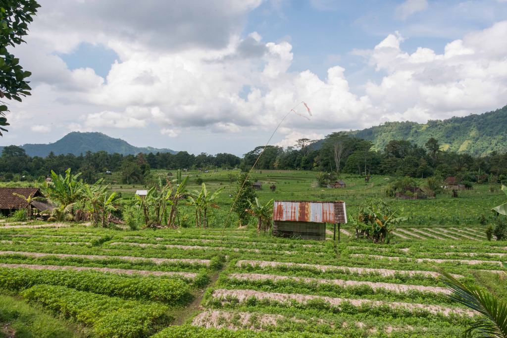 The typical green landscape of Bali - lots of agriculture.