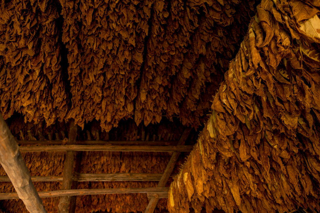 Drying tobacco.