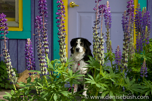 'The Dog That Lives At The Purple House' © Denise Bush