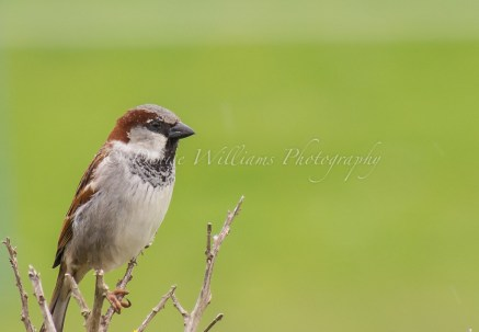 A sparrow in the garden of our holiday let in The Lizard, Cornwall