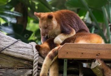 Tree Panda - Perth Zoo