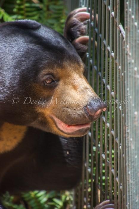 Sun Bear at Perth Zoo