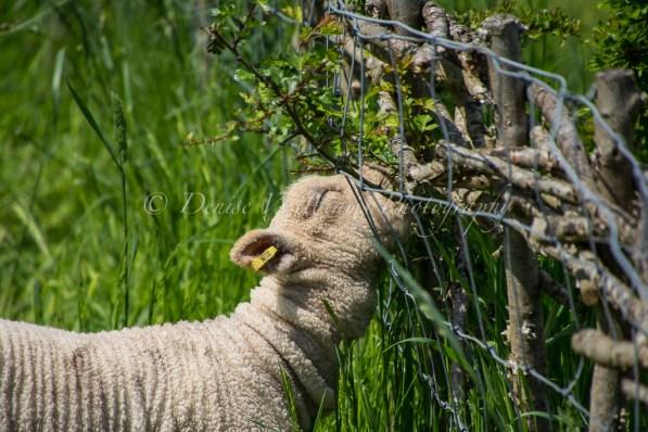 The grass is always greener ..... (Weald & Downland Museum)