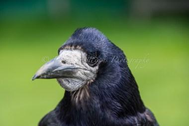 Raven at Weald & Downland Museum, Singleton, nr Chichester