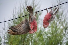 Galahs pretending to be bats at Yardie Homestead nr Exmouth, Western Australia