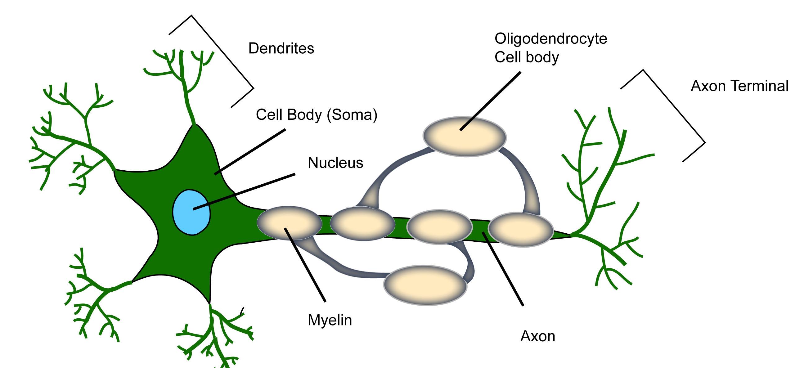 Neural Circuitry