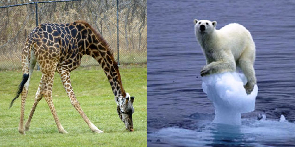 evolutie bear-giraffe