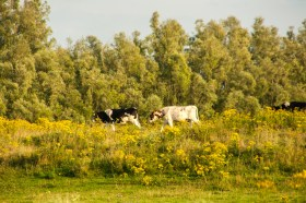 cows-in-a-field