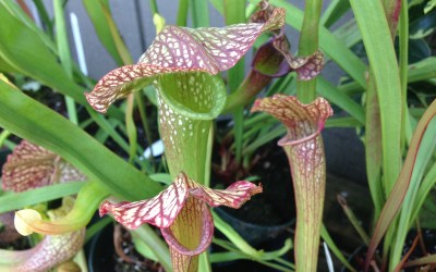 Carnivorous Plant Care
