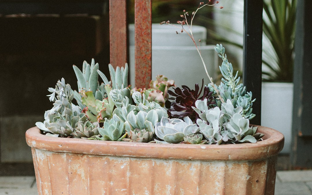 sedums and succulents in a container