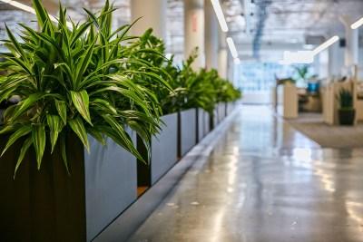 Urban Plantscapes Office Dracaena
