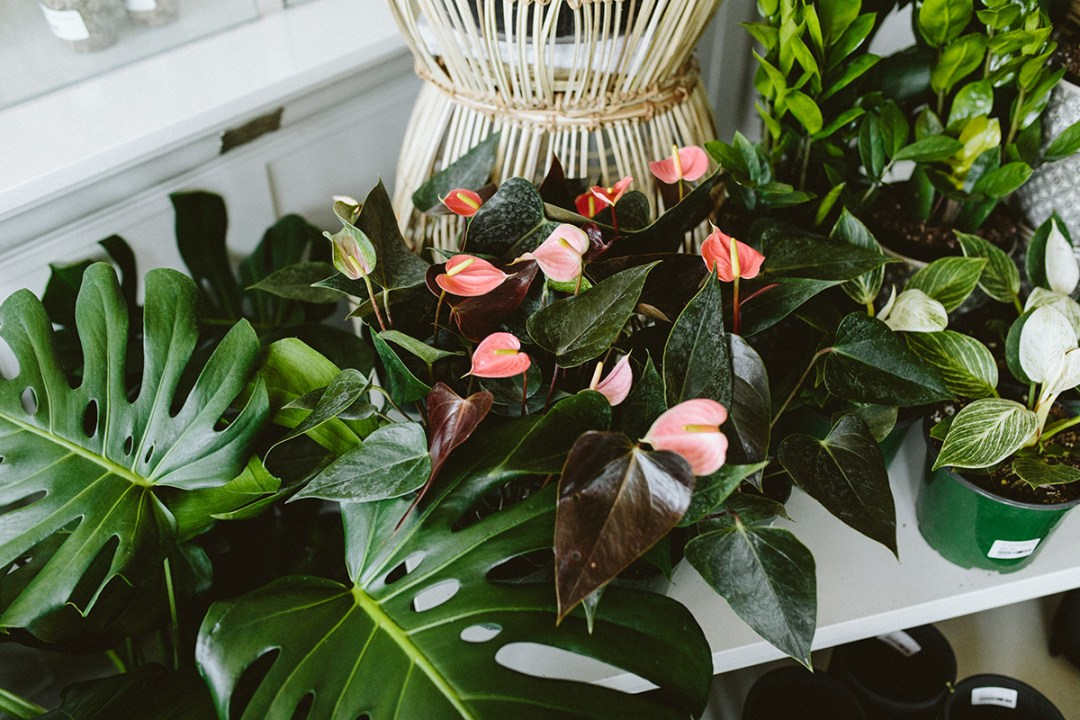 Anthuriums blooming for Mother's day