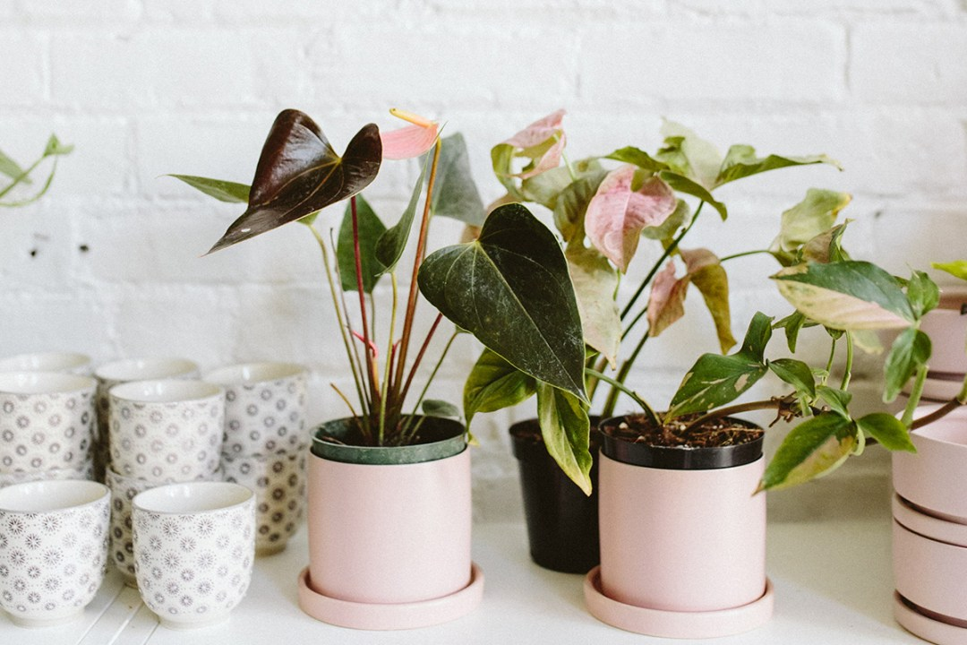 Pink anthurium and pink syngonium in pink pots against a brick wall