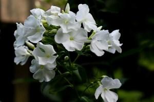 white phlox flowers