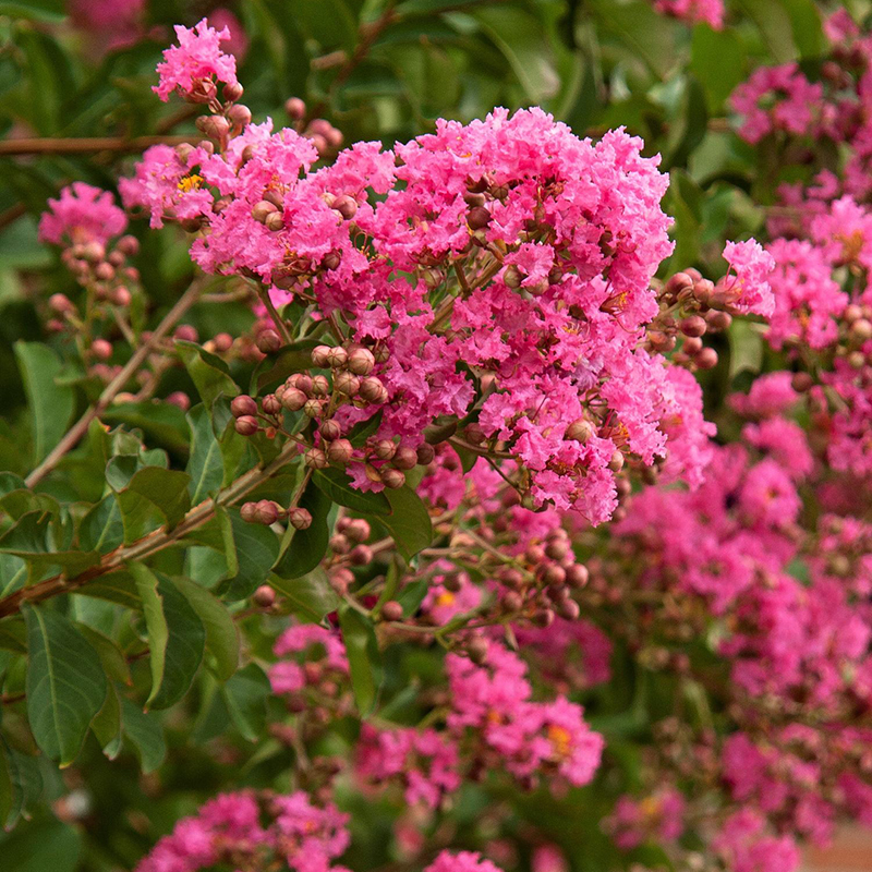 Hopi Crape Myrtle Tree blooming
