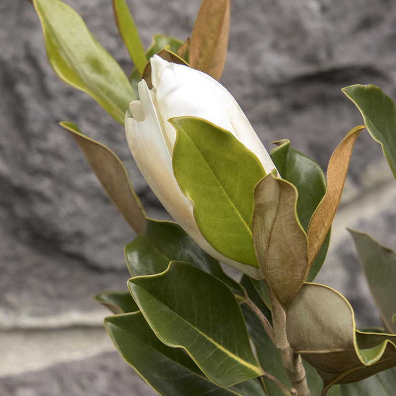 Little Gem Dwarf Southern Magnolia Tree