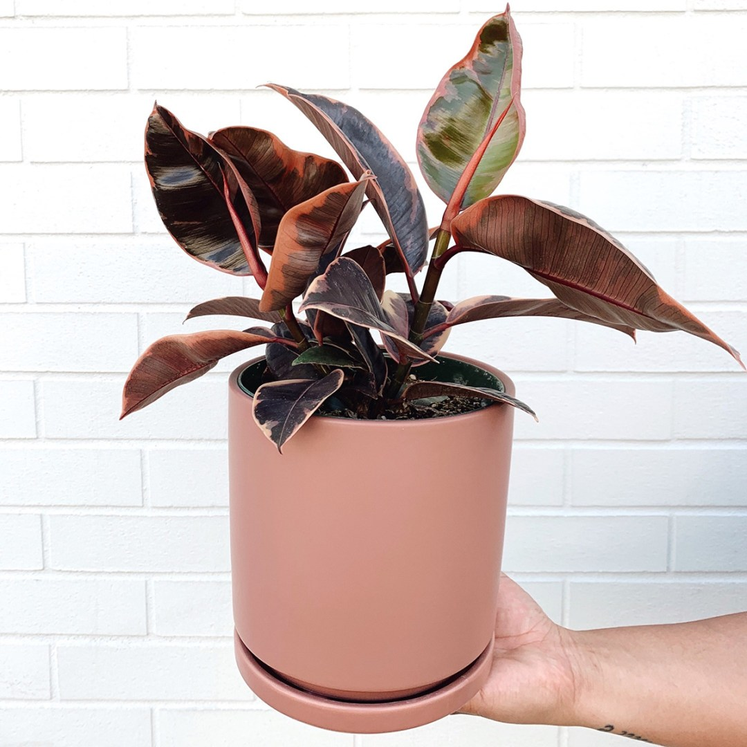 Photo of Ruby Tinieke plant in pink pot