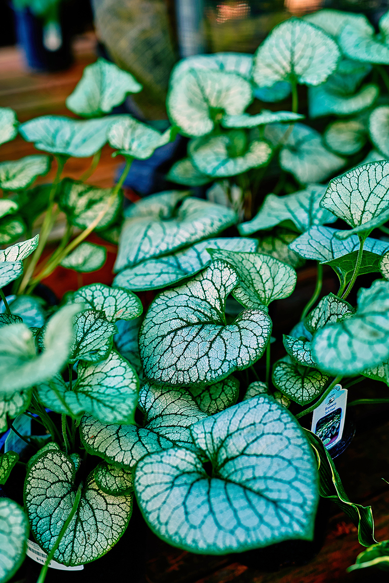 Brunnera Jack Frost leaves