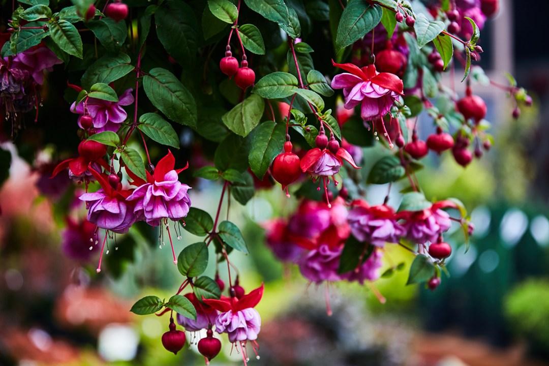 Hardy Fuchsia Flowers