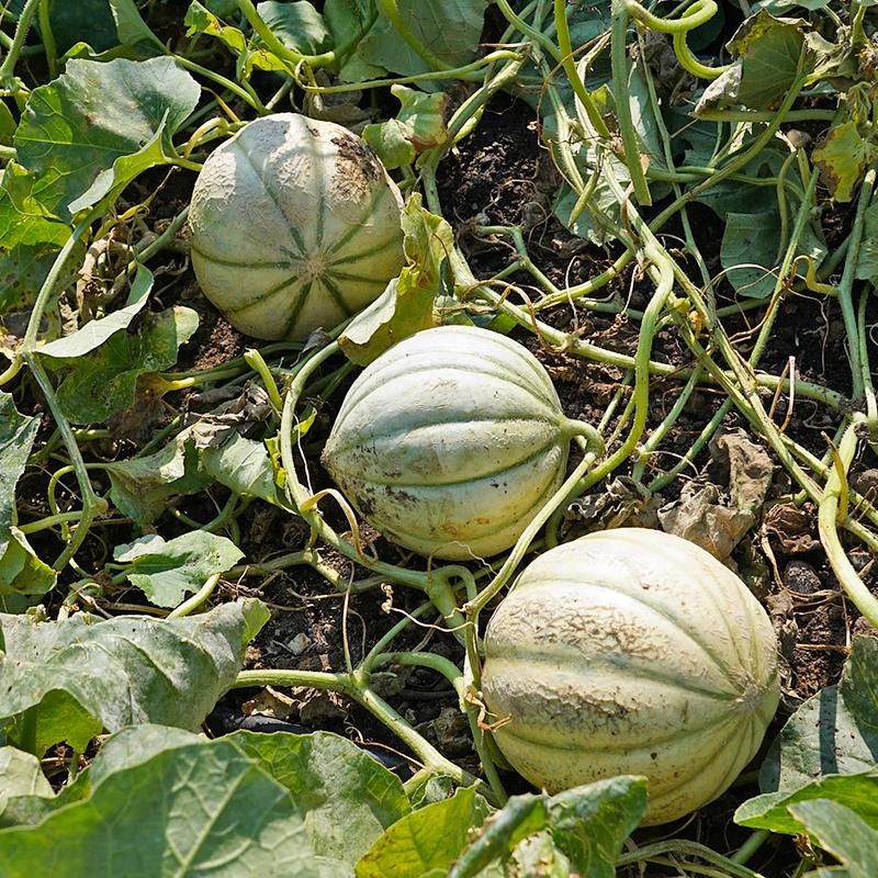 growing cantaloupes
