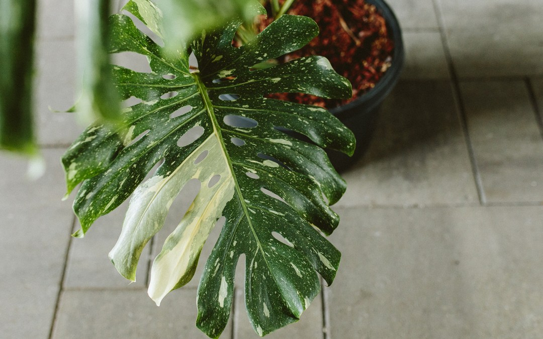 The Latest Houseplant Trend: Variegated Plants and the Science Behind Them