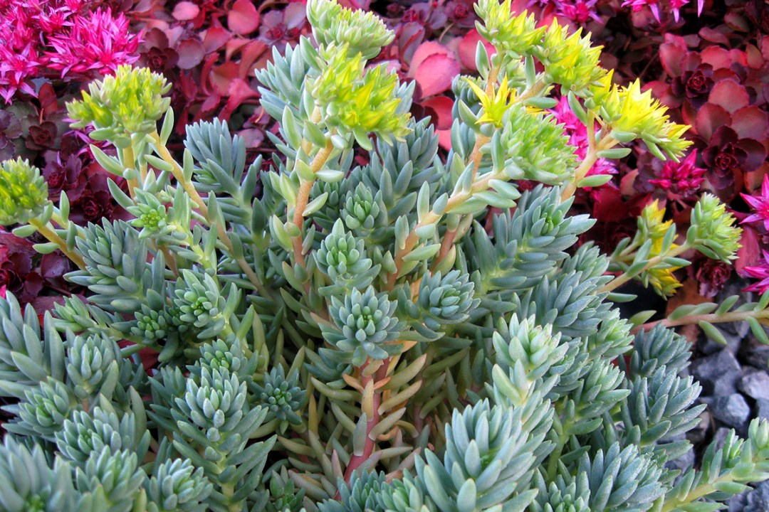 colorful sedum stonecrop varieties