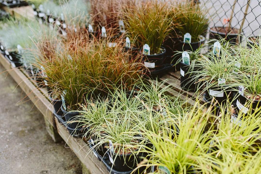 Carex or Sedge