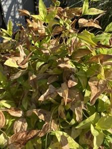 sunburned nandina plant