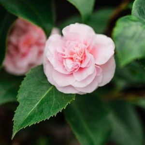 pink winter blooming camellias