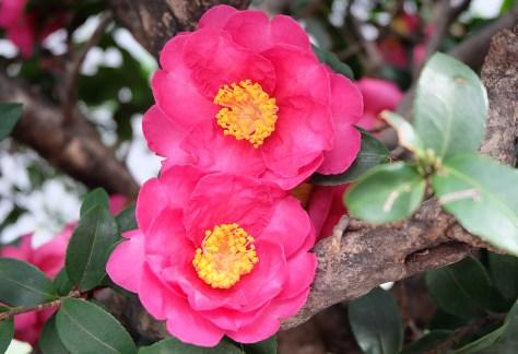 kanjiro camellias
