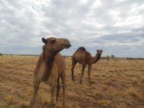 Wilde Kamele Australien