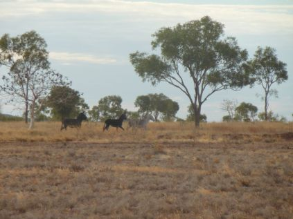 wilde Esel Australien Duncan Road im Northern Territory zur Grenze Western Australia