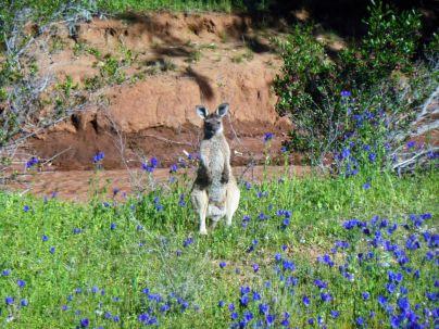 Känguru in Wildblumen