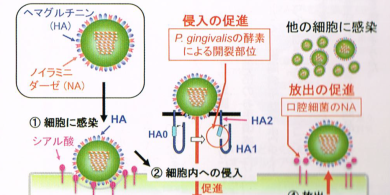 インフルエンザと歯周病の関係
