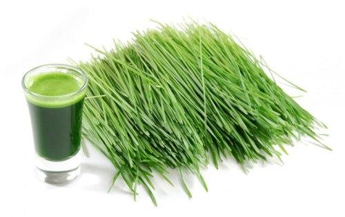 rumput gandum 1