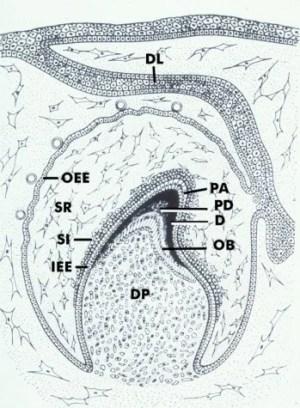 Development of the Dentogingival Junction  Early Stages Diagram 1   School of Dental Medicine